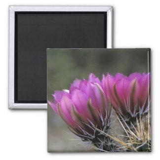 NA, USA, Arizona, Sonoran Desert. Hedgehog Square Magnet