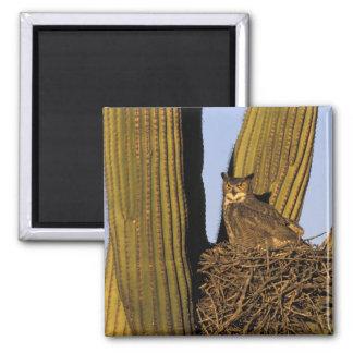 NA, USA, Arizona, Tucson. Great horned owl on Square Magnet