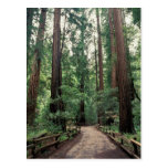 NA, USA, California, Marin County, Muir Woods Post Card