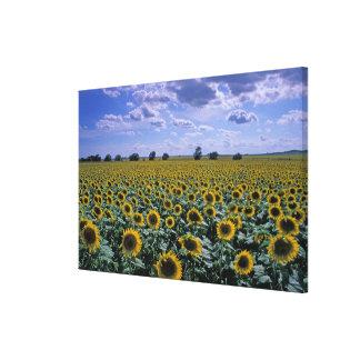 NA, USA, Kansas, Sunflower crop Gallery Wrap Canvas