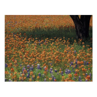 NA, USA, Texas, Hill Country, Paint brush and Postcard