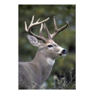 NA, USA, Washington State, White-tailed deer, Photograph