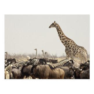 Namibia, Etosha National Park. A lone giraffe Postcard