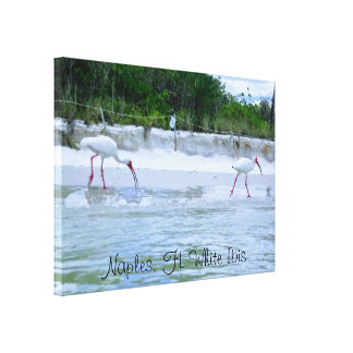 Naples, FL White Ibis Birds Walking on Beach Canvas Print