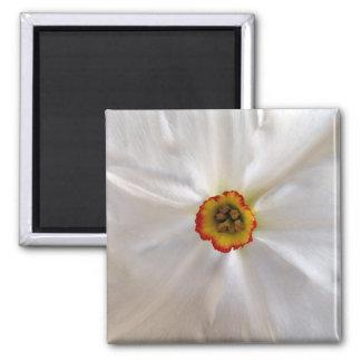 narcisse de blanc de perle magnet carré