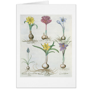 Narcissi, Crocuses and Hyacinth: 1.Narcissus autum Card