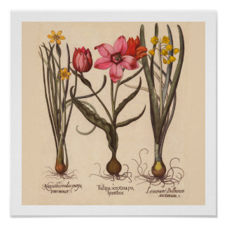 Narcissus Botanical Print