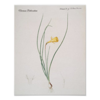Narcissus Bulbocodium Poster