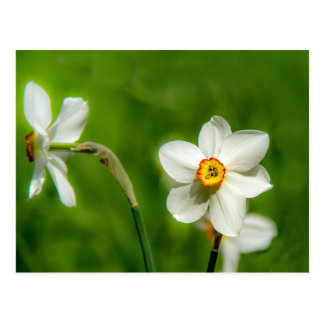Narcissus Plant Postcard