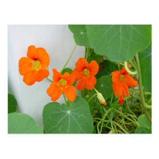 Nasturtium Blooms Postcard