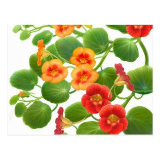Nasturtium Flowers Postcard