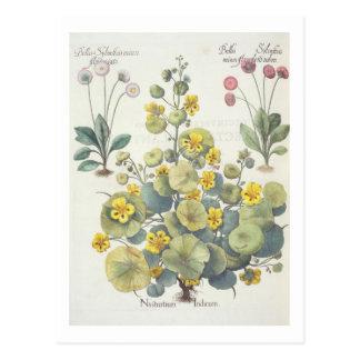 Nasturtiums and Daisies: 1.Nasturtium Indicum; 2.B Postcard