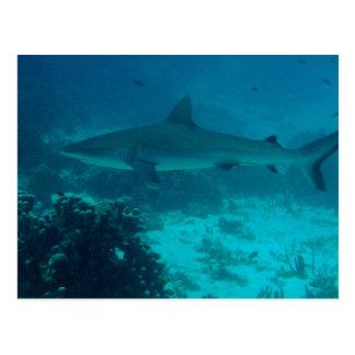 Natation grise de requin de récif cartes postales