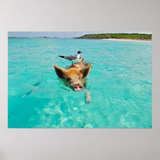 Natation mignonne de porc dans l'eau affiches