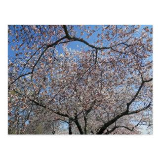 National Cherry Blossom Festival Washington DC 004 Postcard