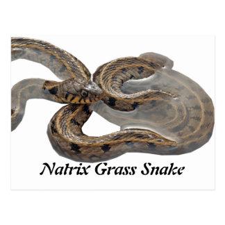 Natrix Grass Snake Postcards