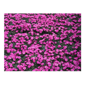 Natural background of purple carnation flowers postcard