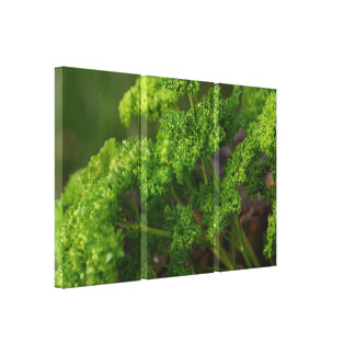 Natural Green Parsley Herb Photo for the Kitchen Gallery Wrapped Canvas