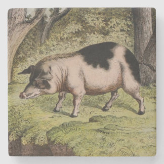 Natural History Art Pig Stone Coaster