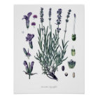 Nature,botanical print,flower art of True Lavender Poster
