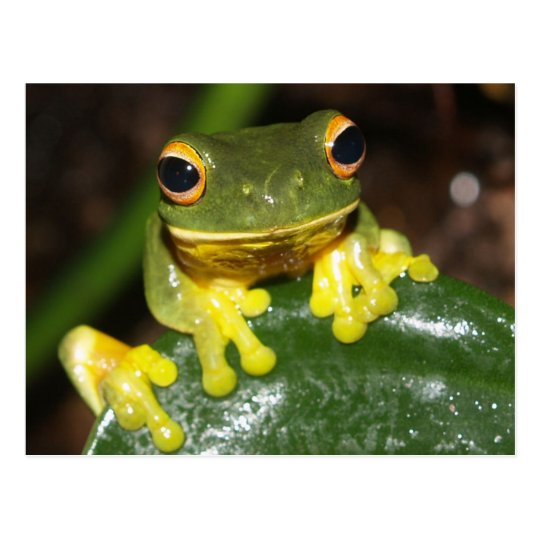 Nature - Orange Eyed Green Tree Frog Postcard