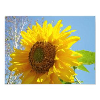 Nature Photography Fine Art Prints Sunflowers