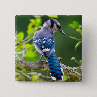 Nature Photography Shy Blue Jay Apparel Gifts 2 Inch Square Button