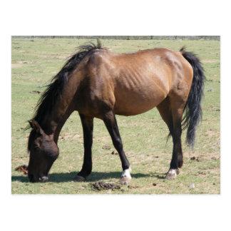 Navajo Mustang Postcard