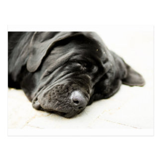 Neapolitan Mastiff Postcard