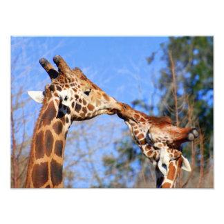 Necking Giraffes Photo