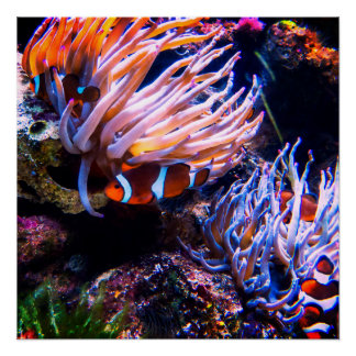 Neon Clown Fishes Perfect Poster