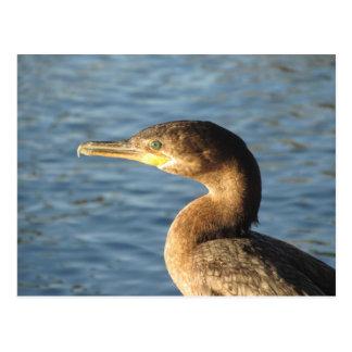 Neotropic Cormorant Postcard