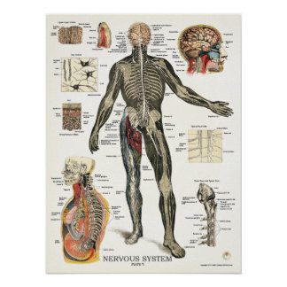 Nervous System Anatomy Poster 18 X 24