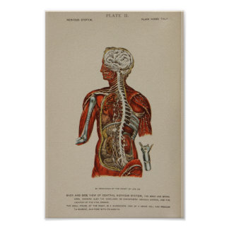 Nervous System Spinal Cord Nerves Anatomy Print