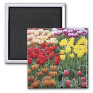 Netherlands, Keukenhoff Gardens, tulips. Magnet