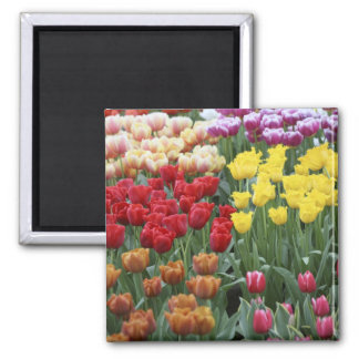 Netherlands, Keukenhoff Gardens, tulips. Square Magnet