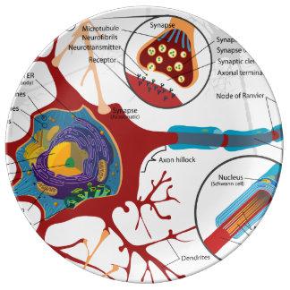 Neurons Nerve Healthy Porcelain Plate