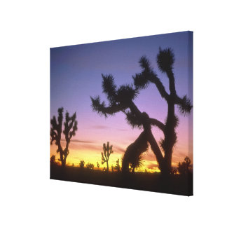 NEVADA. USA. Joshua trees Yucca brevifolia) Canvas Print
