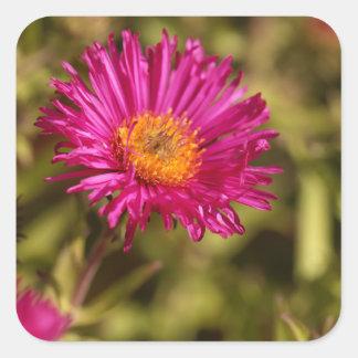 New England aster (Symphyotrichum novae angliae) Square Sticker