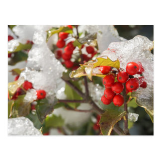 New England Winter Red Holly Berries Postcard