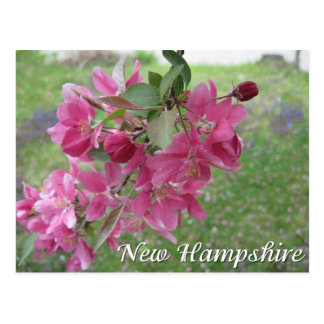 New Hampshire crab apple tree blossoms Postcard
