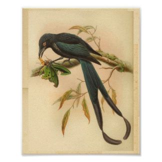 New Ireland Drongo Blue Vintage Cat Bird Print