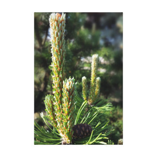 New pine buds canvas print