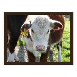 New Zealand Cow Postcard