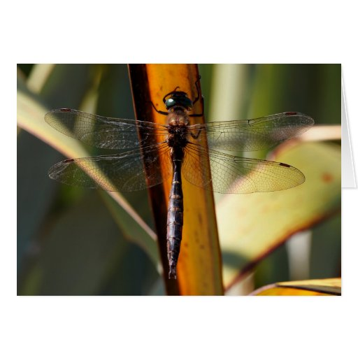 New Zealand Dragonfly Cards