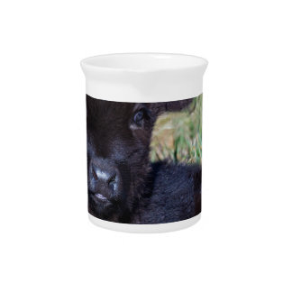 Newborn black scottish highlander calf lying drink pitcher