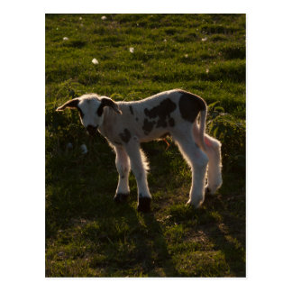 Newborn lamb postcard