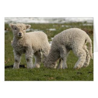 Newborn Lambs Card