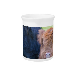 Newborn scottish highlander calf with mother cow drink pitchers