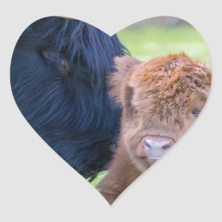 Newborn scottish highlander calf with mother cow heart sticker